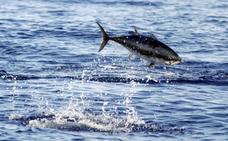 La intoxicación de un hombre en Asturias que compró atún rojo en Sevilla permite desmantelar una gran red de fraude