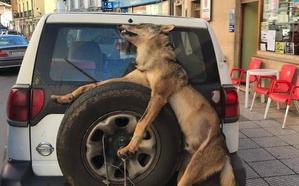 El peculiar traslado de un lobo abatido en Allande por los guardas del Principado