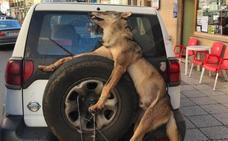 Peculiar traslado de un lobo abatido en Allande por los guardas del Principado