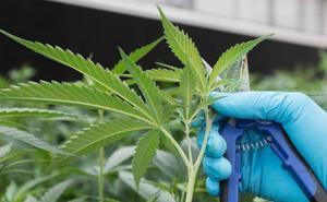 Unidos Podemos llevará al Congreso una ley para legalizar el cannabis