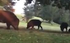 Los jabalíes campan a sus anchas por el Parque de Invierno de Oviedo