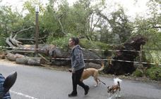 Uno de los roblones de Deva se desploma sobre la carretera