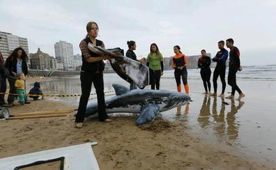 «Si ves un delfín varado, no te hagas el héroe y llama al 112», advierten en Gijón los expertos