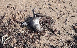 Ratas muertas y basura de nuevo en la playa de San Lorenzo