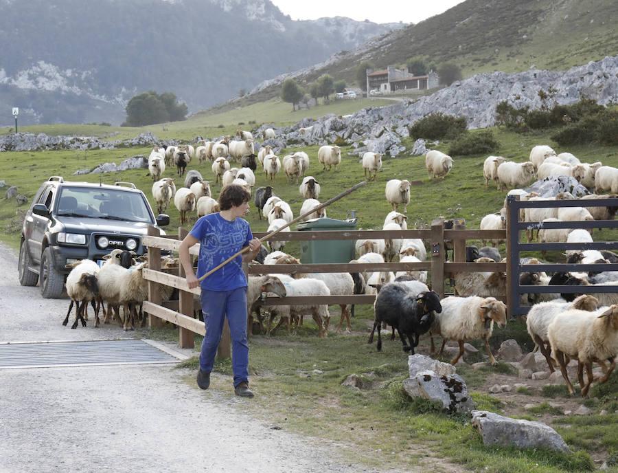 Los pastores asturianos, cercados por el lobo