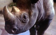 China pone fin a la prohibición del uso de hueso de tigre y cuerno de rinoceronte