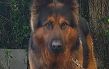 Movilización en las redes sociales para encontrar a un perro perdido entre Avilés y Gijón