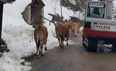 Final feliz para 46 vacas atrapadas en la nieve en Somiedo