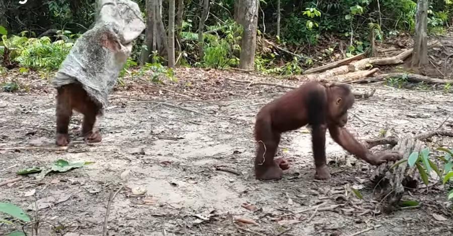 Vídeo: El divertido orangután que juega a ser un fantasma