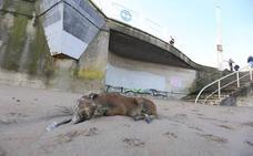 Aparece un jabalí muerto en la playa de Salinas