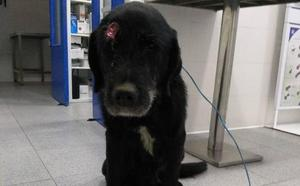 'Alvarín', el perro que sobrevivió a un disparo, busca hogar en Oviedo