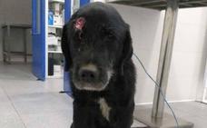 'Alvarín', el perro que sobrevivió a un disparo en la cabeza, busca familia