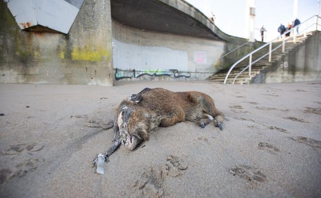 Aparece un jabalí muerto en la arena de la playa de Salinas