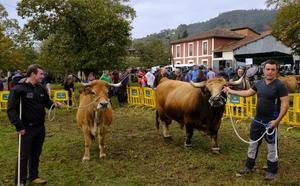 'Galana' y 'Sandungu' ganan la Muestra de Corao para reses de Asturiana de la Montaña