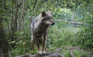 «Ya no hay perros asilvestrados en Picos, los lobos los eliminaron»