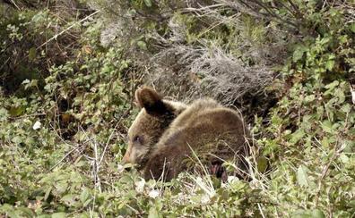 Los ganaderos llevan a juicio a la Consejería de Medio Ambiente de Asturias por daños de la fauna salvaje