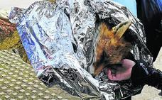 Muere por un «proceso infeccioso» el zorro rescatado en los Lagos