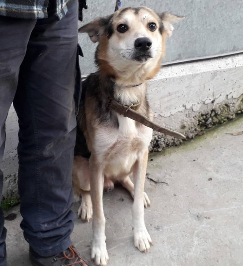 Movilización en las redes sociales para encontrar a los dueños de un perro perdido en Gijón