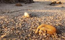 Millones de pequeños crustáceos 'invaden' setenta kilómetros de costa