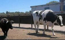 Así es Knickers, la vaca gigante que se salvó del matadero
