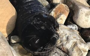 Aparece una foca varada en el pedrero de Tazones