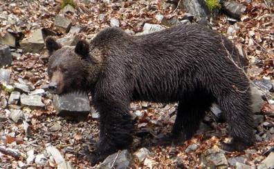 Las necropsias descartan el disparo como la causa de la muerte de tres osos en Castilla y León