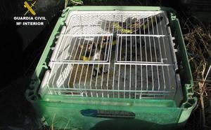 Investigan a un vecino de Langreo por la caza furtiva de jilgueros en Villaviciosa