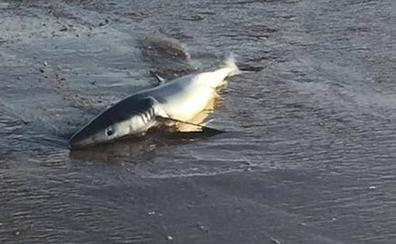 Localizan un tiburón varado en la playa de Salinas