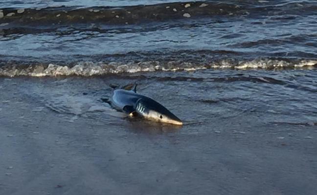 Devuelven al mar a un tiburón varado en la playa de Salinas