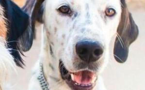 'Romeo', el perro perdido en Gijón hace tres días, sigue sin aparecer