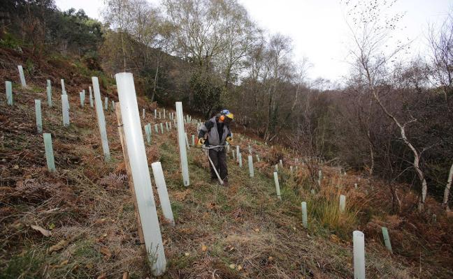 Ribadedeva planta cara al eucalipto con 20.000 árboles autóctonos