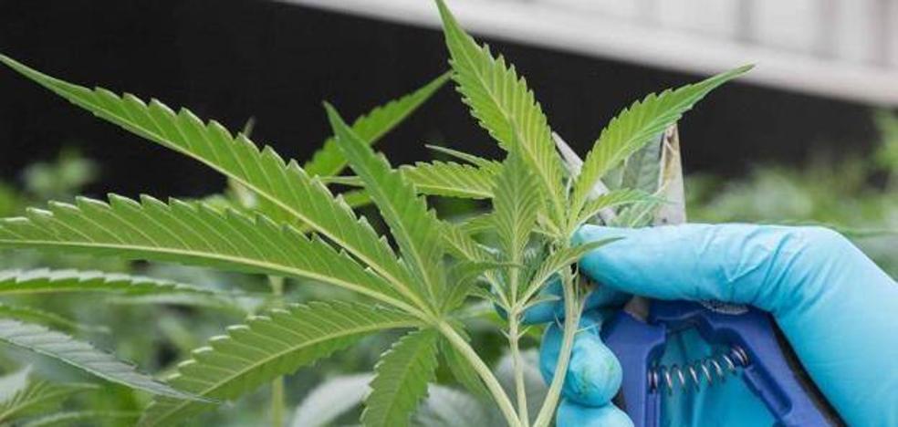 Intervenidas 1.590 plantas de marihuana en un chalé de Lugones