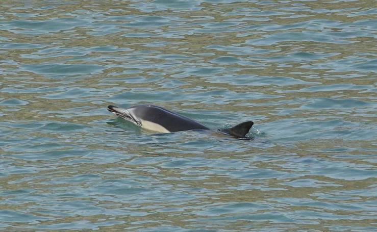 Aparece un delfín en Llanes