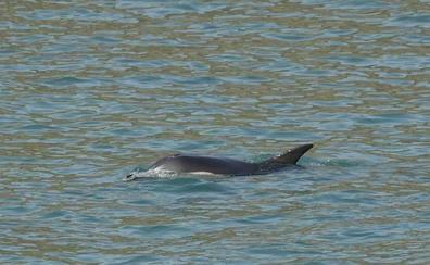 Aparece un delfín en la costa de Llanes