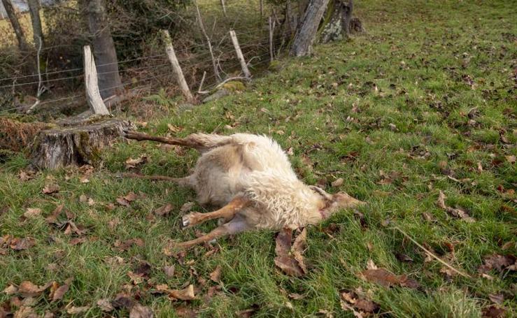 Las ovejas de la cabalgata de Reyes de Gijón, víctimas del lobo en Piloña
