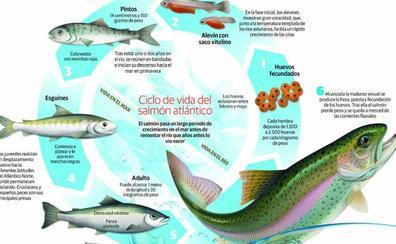 El Campanu, el primer salmón en los ríos asturianos