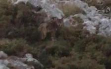 Los Picos registran una media de 200 ataques del lobo al ganado cada año
