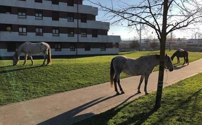 Un grupo de caballos campa a sus anchas por calles de Gijón