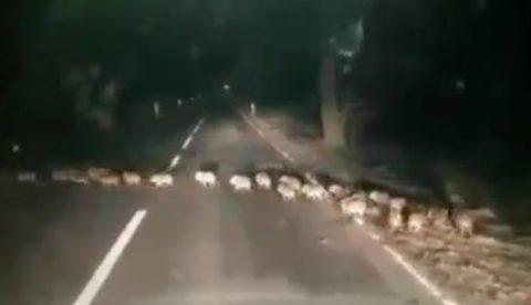 Cuidado en la carretera: papá jabalí, mamá jabalí y sus 30 crías