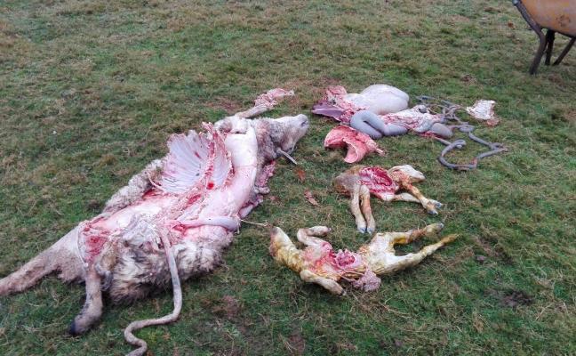 Denuncian un ataque del lobo a una oveja y dos corderos en Soto de Cangas