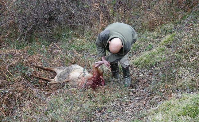 «Los lobos se están acercando a los pueblos», advierten los ganaderos
