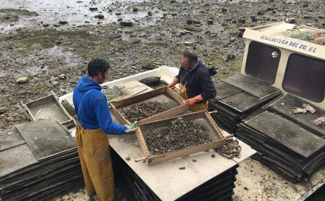 Las ostras del Eo conquistan el mercado