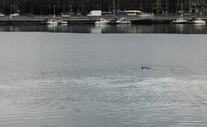Los delfines surcan la ría de Avilés hasta el Niemeyer