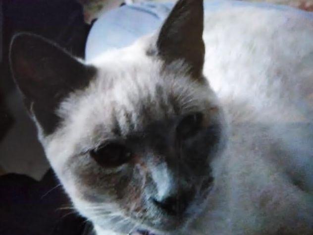 Piden ayuda para encontrar a 'Kira', una gata perdida en La Camocha