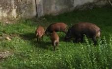 Los vecinos defienden los planes para cazar a los jabalíes en Oviedo