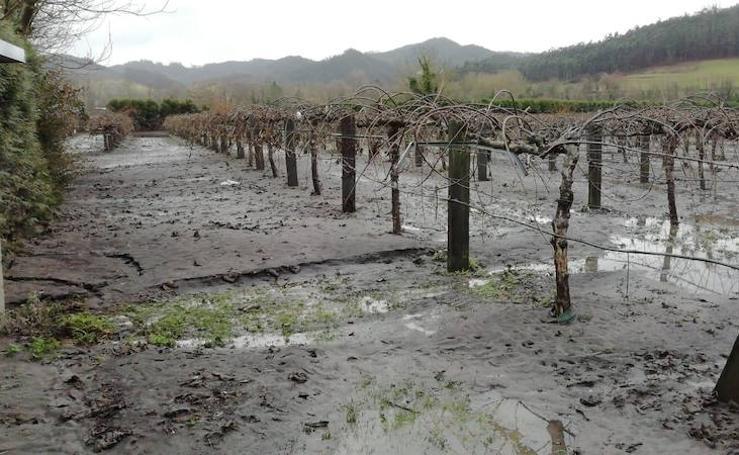 Así quedaron las plantaciones de kiwis en Pravia tras las inundaciones