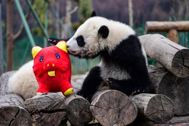 Los cachorros de panda celebran el Año Nuevo Lunar del Cerdo