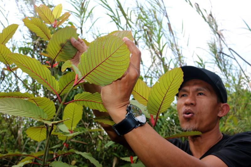 Crece el consumo de kratom en el mundo