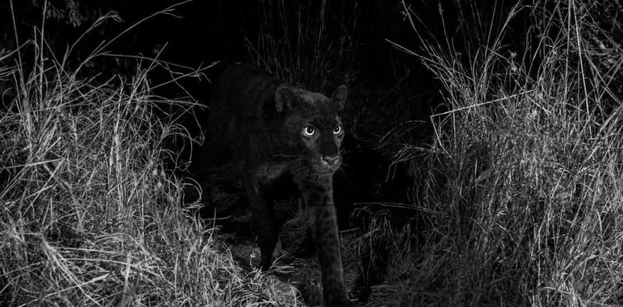 Fotografiado un leopardo negro por primera vez en 100 años