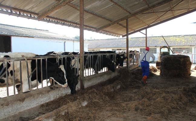 Más cuchu y forraje ecológico para reducir las emisiones de la ganadería